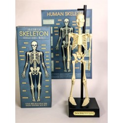 Anatomisk skelet - Rex London
